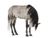 安达卢西亚人、7岁,亦称纯西班牙马或者前 图库摄影