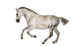 安达卢西亚的疾驰的马 库存照片