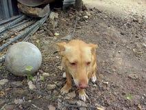 安达卢西亚的种族狗 免版税库存图片