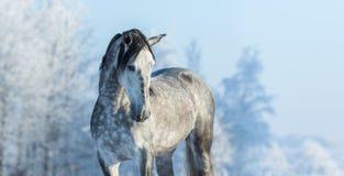 安达卢西亚的良种灰色马在冬天森林里 免版税库存照片
