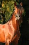 安达卢西亚的马 免版税库存图片