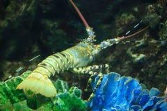 安达曼海龙虾 免版税库存图片