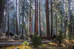 安静的森林巨型美国加州红杉红木树丛和森林草甸与 库存照片