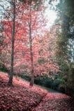安静的走道和红色树在秋天 库存图片
