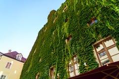 完全地长满的城内住宅与常春藤,慕尼黑,巴伐利亚 库存图片