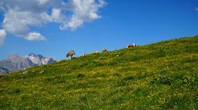 完善与母牛/绿草/山和蓝天的田园诗阿尔卑斯风景 免版税库存图片