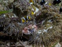完善在clownfish、瓷螃蟹和银莲花属,莫桑比克,非洲之间的水下的共生 免版税库存图片