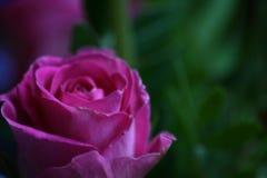 完善玫瑰色 库存图片