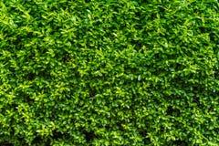 完善的不计其数的小绿色生叶背景植被墙壁 免版税库存照片