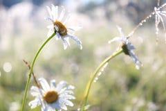 完善的白色春黄菊 免版税图库摄影