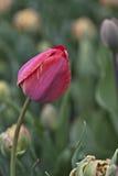 完善的红色郁金香芽 库存图片