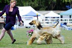 完善的配合经理和阿富汗猎犬在狗展示敲响 免版税库存照片