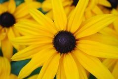完善的黄色黑眼睛的苏珊庭院 库存图片