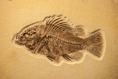 完成鱼化石 免版税图库摄影
