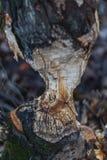 宏指令在秋天射击了一棵大树,嚼由海狸 免版税库存图片