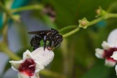 宏指令接近在叶子和花的一只黑臭虫蜂蜜蜂 免版税库存图片