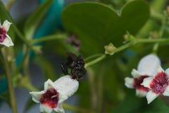 宏指令接近在叶子和花的一只黑臭虫蜂蜜蜂 图库摄影