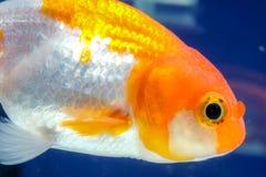 宏指令接近的眼睛和面孔金鱼在水族馆 库存照片