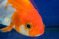 宏指令接近的眼睛和面孔金鱼在水族馆 免版税库存照片