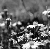 宏指令,吮花粉的一次共同的房子飞行的后面看法照片从白色野花 免版税库存照片