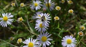 宏指令,吮花粉的一次共同的房子飞行的顶视图照片从白色野花 库存照片