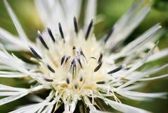 宏指令-一朵白色蓟花的特写镜头图象 免版税库存图片