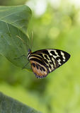 宏指令共同的老虎Glassywing蝴蝶 图库摄影