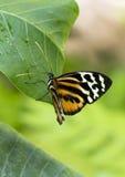 宏指令共同的老虎Glassywing蝴蝶 库存图片