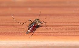 宏指令他吮血液充分,危险蚊子的蚊子, 免版税库存照片