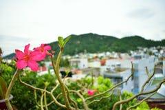 宏指令接近的桃红色花风景在芽庄市,越南 库存图片