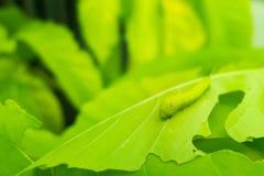 宏指令接近的毛虫,在被吃的绿色叶子的绿色蠕虫 库存照片