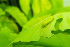 宏指令接近的毛虫,在被吃的绿色叶子的绿色蠕虫 免版税库存图片