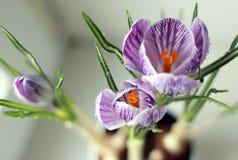 宏指令 番红花第一朵花开花例证雪春天向量 库存图片