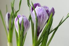 宏指令 番红花第一朵花开花例证雪春天向量 免版税图库摄影