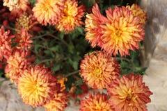 宏指令的橙色菊花关闭 免版税库存图片