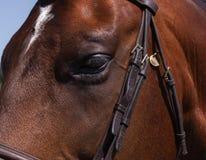 宏指令;纯血种马的眼睛 库存图片