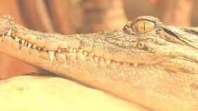 宏指令鳄鱼接近的,顶头射击  影视素材