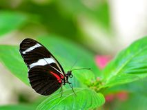 宏指令,佐良Longwing蝴蝶在鸟舍 免版税图库摄影