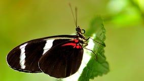 宏指令,在叶子的佐良Longwing蝴蝶 免版税图库摄影