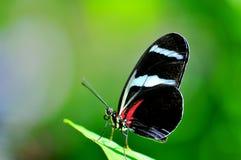 宏指令,在绿色叶子的佐良Longwing蝴蝶 库存图片