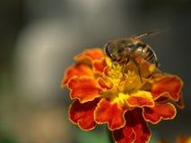 宏指令:在一朵红色/黄色花的蜂 免版税图库摄影
