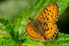 宏观世界 美丽的蝴蝶取暖在阳光下 松鸡爱本质歌曲通配木头 开花昆虫 免版税库存照片