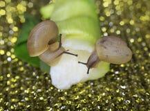 宏观两只的蜗牛 免版税库存图片