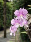 宏观兰花照片紫色 库存图片