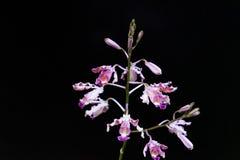 宏观兰花照片紫色 免版税图库摄影