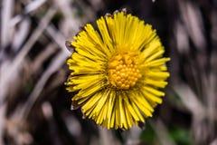 宏观关闭一朵上等的狮子花在春天 库存图片