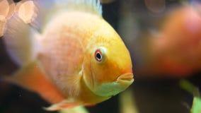 宏观关闭为美妙的金鱼的面孔在水族馆的 ?? 金黄鱼开头,关闭它的嘴和 影视素材