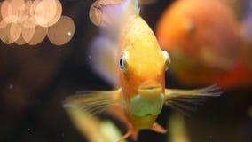 宏观关闭为美妙的金鱼的面孔在水族馆的 ?? 金黄鱼开头,关闭它的嘴和 股票录像