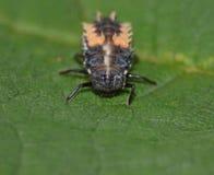 宏观关闭突然上升一个瓢虫/瓢虫幼虫在一片叶子在庭院里,在英国拍的照片 图库摄影