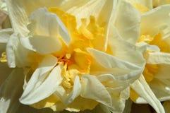 宏观双重黄水仙水仙白色和黄色开花 免版税库存图片